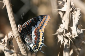 Charaxes_ original